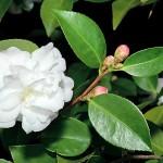 C/448/10 Camellia sasanqua