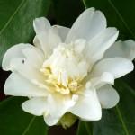 camellia 18563